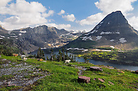 Mountain Goats (Oreamnos americanus) near Hidden Lake and Bearhat Mountain, Glacier National Park, Montana.  Summer.