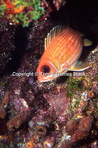 Squirrelfish, Florida Keys National Marine Sanctuary