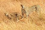 African Cheetahs (Acinonyx jubatus) on the Masai Mara National Reserve safari in southwestern Kenya.