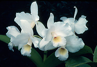 Cattleya skinneri var. alba, aka Guarianthe skinneri var alba, pure white form of the National Flower of Costa Rica, orchid species epiphyte
