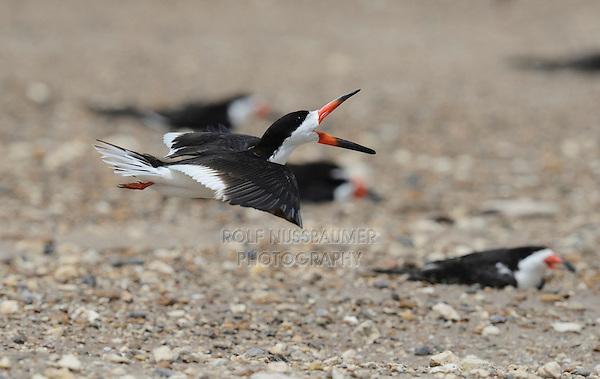 Black Skimmer (Rynchops niger), adult in flight calling, Port Isabel, Laguna Madre, South Padre Island, Texas, USA