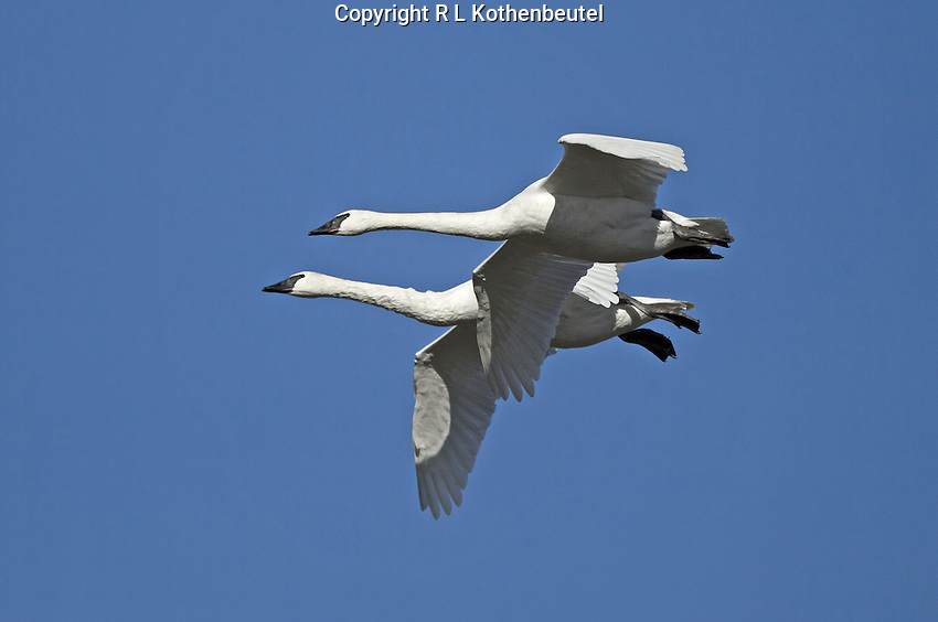 A pair of trumpeter swans glides through the deep blue sky in search of a place to land.<br /> Snohomish Valley near Monroe, Washington<br /> 1/5/2014