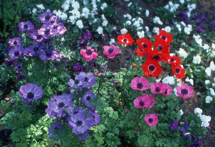 anemone coronaria 39 de caan mixture 39 plant flower stock. Black Bedroom Furniture Sets. Home Design Ideas