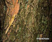 1004-0807  Lined Leaf-tailed Gecko Climbing, Uroplatus lineatus © David Kuhn/Dwight Kuhn Photography.