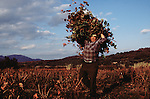 Spain, Catalunya, Man pruning vines in the wine country north of Barcelona,