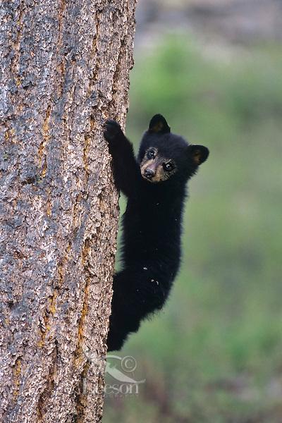 Black Bear (Ursus Americanus) cub climbing tree.  Western U.S.,