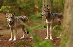 Wolf Juveniles, Gray Wolf, Mount Ranier, Washington