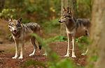 Wolf Juveniles, Gray Wolf, Mount Ranier, Washington
