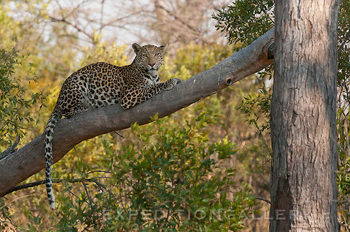 Leopard waiting for prey, Okavango Delta, Botswana.