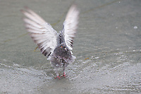 Pigeon stretches its wings in a public fountain in the summer heat in Budapest, Hungary on August 21, 2012. ATTILA VOLGYI