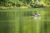 USA, Alaska, loon floating on lake, Redoubt Bay