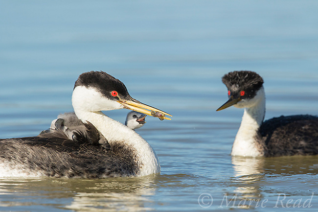 Western Grebes (Aechmophorus occidentalis), one parent offers a fish to a begging chick, one of several riding on the other parent's back, Bear River Migratory Bird Refuge, Utah, USA