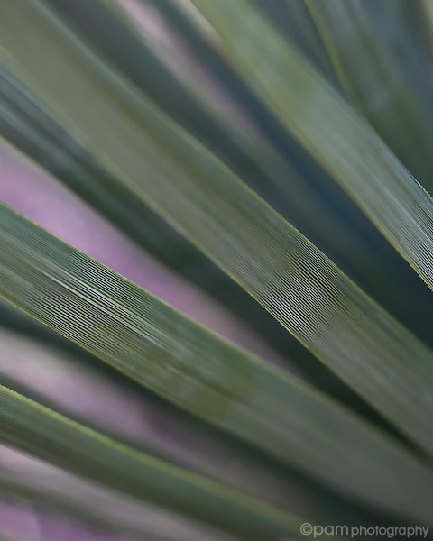 Close-up of yucca leaves
