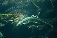 Atlantischer Stör, Stör, Gemeiner Stör, Ostsee-Stör, Baltischer Stör, Acipenser oxyrinchus, Atlantic sturgeon, anadromer Wanderfisch, anadrom, anadromous
