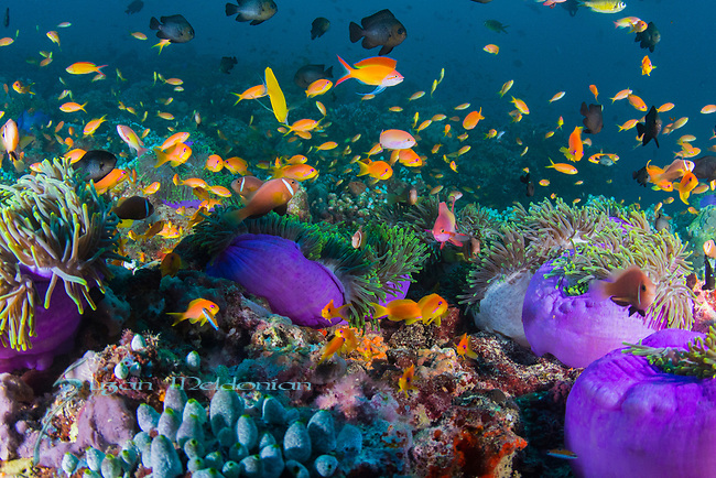 Purple anemones, Radianthus magnifica,Field of underwater Purple anemones, healthy reefs, reefscapes, Wide Angle, Maldives