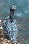 Falkland Islands / Islas Malvinas (British Overseas Territory), rock shag (Phalacrocorax magellanicus), also known as the Magellanic cormorant