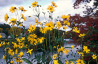 Helianthus salicifolius in autumn next to river