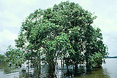 Para State, Amazon, Brazil. Group of trees emerging from the water in flooded forest; Xingu river.