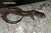 "0611-0858  Redback Salamander ""Red Variation"", Plethodon cinereus  © David Kuhn/Dwight Kuhn Photography"