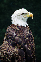 Bald Eagle, Houston Zoo