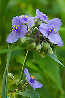Ohio Spiderwort (Tradescantia ohioensis). Largely a prairie species. The distinctively hairy filaments of the flowers in this genus have long been a favorite specimen of biology students for observing cytoplasm and nucleus of living cells under a microscope. The genus Tradescantia is named in honor of John Tradescant the Elder (c. 1570 - 1638), the famed British botantist, who was also gardener of Charles I. All Tradescentia are native to North and South America.