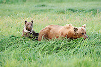 A baby brown bear uses its mother to stand up and check out the countryside.