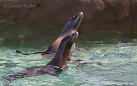 0406-1018  California Sea Lion, Zalophus californianus  © David Kuhn/Dwight Kuhn Photography.