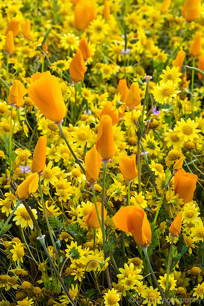 California poppies in the springtime