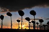 Girasoles, Ines Indart, Argentina