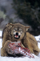 694926390 a captive gray wolf  canis lupus hovers over a deer kill in a snowbank defending it by snarling at an intruder and baring its fangs in central montana
