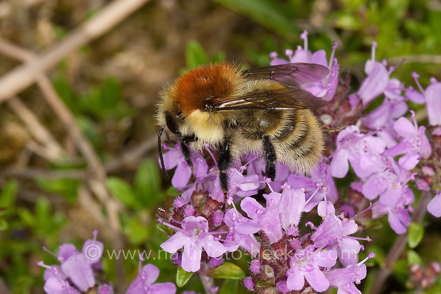 Mooshummel, Moos-Hummel, Blütenbesuch, Nektarsuche auf Thymian, Bombus muscorum, Megabombus muscorum, large carder bee, moss carder bee, carder-bee