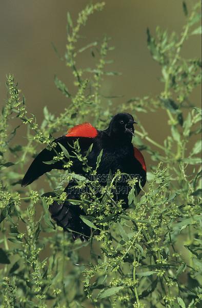 Red-winged Blackbird, Agelaius phoeniceus, male singing, Lake Corpus Christi, Texas, USA, April 2003