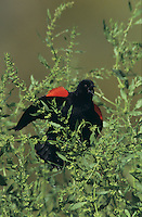 Red-winged Blackbird, Agelaius phoeniceus, male singing, Lake Corpus Christi, Texas, USA, April 2003