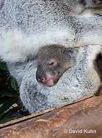 0802-1012  Koala with Young, 6 month old Joey that Just Emerged from Pouch within One Day, Phascolarctos cinereus © David Kuhn/Dwight Kuhn Photography