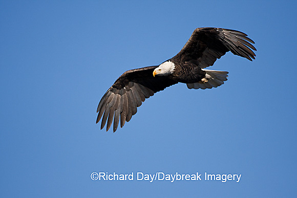00807-035.15 Bald Eagle (Haliaeetus leucocephalus) in flight over Mississippi River, Alton, IL