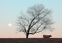 Cow grazing under tree with moon in farm pasture.