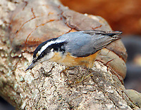 Red-breasted nuthatch adult female