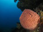 Big Mushroom (Shi Lang), Green Island -- Pinkish barrel sponge.