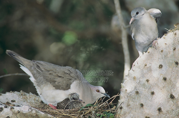 White-tipped Dove, Leptotila verreauxi,adult with young in nest and immature White-winged Dove in cactus, The Inn at Chachalaca Bend, Cameron County, Rio Grande Valley, Texas, USA, May 2004