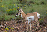 A pronghorn grazes at Bryce Canyon National Park
