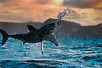 Great White Shark (Carcharodon carcharius) breaching as it attacks a seal decoy off South Africa at sunset. Photo Copyright Protected © Dale Sanders / www.dalesanders.info  All Rights Reserved.
