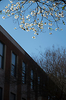 Dogwood tree blossoms next to Mitchell Memorial Library.<br />  (photo by Megan Bean / &copy; Mississippi State University)