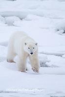 01874-13202 Polar Bear (Ursus maritimus)  Churchill Wildlife Management Area, Churchill, MB