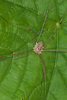 Schwarzaugenkanker, Schwarzaugen-Kanker, Schwarzauge, Weberknecht, Rilaena triangularis, Opilio triangularis, Platybunus triangularis, harvestman, Opiliones, Weberknechte