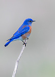 USA, California, Point Reyes National Seashore, western bluebird (Sialia mexicana)