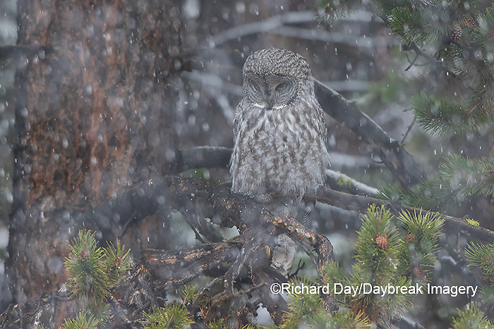 01128-00108 Great Gray Owl (Strix nebulosa) in snowstorm, Yellowstone National Park, WY