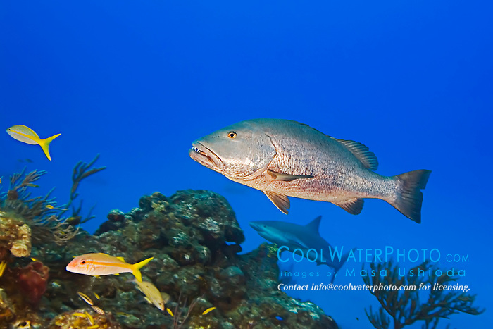 Cubera Snapper, Lutjanus cyanopterus, large adult, over 5 feet long, weighing over 100 plus pounds, vulnerable species, West End, Grand Bahama, Atlantic Ocean