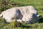Brazoria County, Damon, Texas; a close up, detail of a newborn, white calf laying down in the pasture