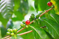 Red and green coffee cherries at Kaleo's Koffee orchard in Pa'auilo Mauka on the Big Island.