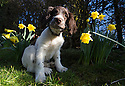 09/02/15<br /> <br /> Four-month-old Springer Spaniel, Chester, smells daffodils for the first time on a beautiful spring-like day near Brailsford, Derbyshire.<br /> <br /> All Rights Reserved - F Stop Press.  www.fstoppress.com. Tel: +44 (0)1335 418629 +44(0)7765 242650